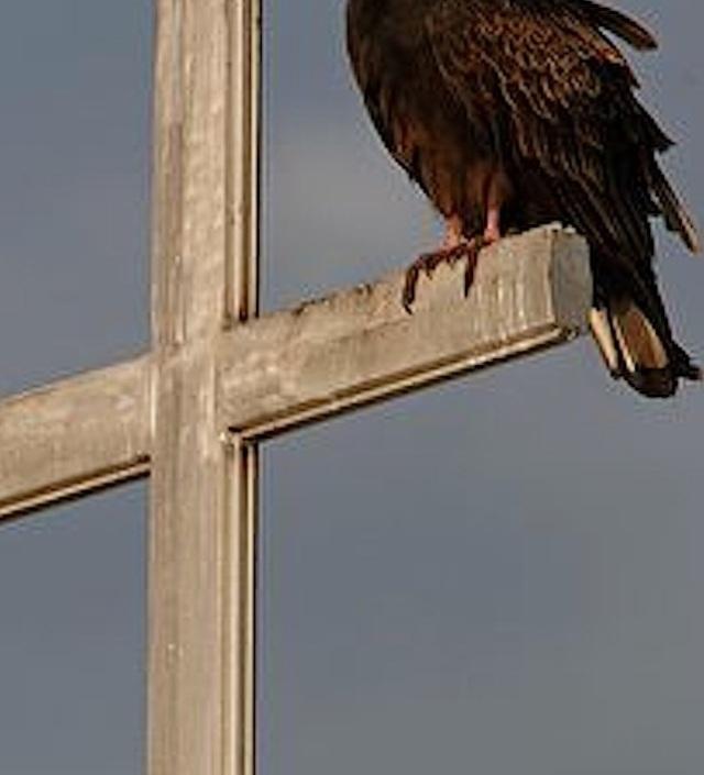 ARKive image GES043201 - Turkey vulture