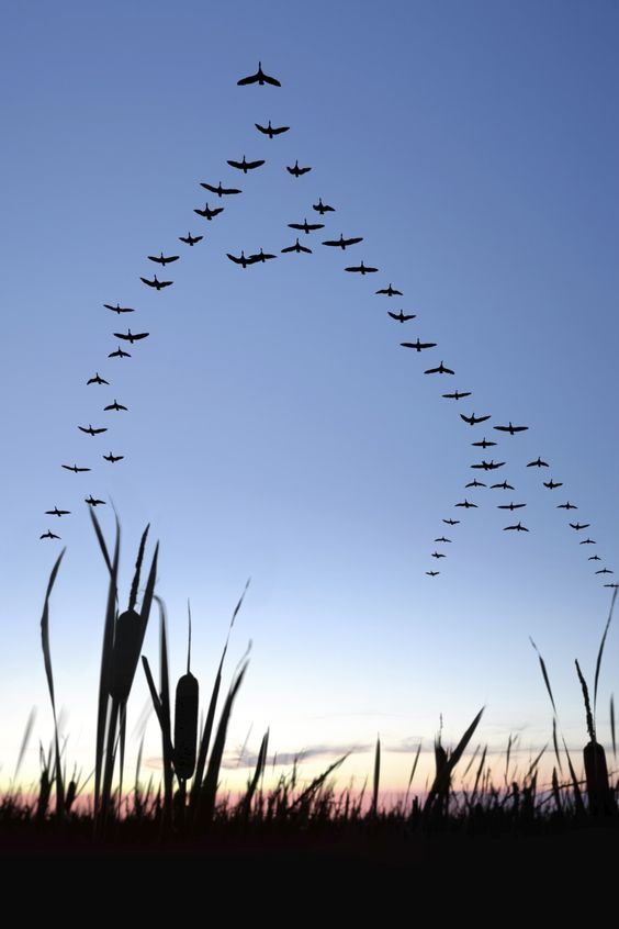 large flock of canada geese flying in silhouette at twilight, vertical frame